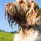 Italian Spinone ~ Woody 1084 by heidiannemorris