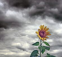 Stormy Sunflower by Randy Shannon
