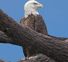 The Bald Eagle by Anthony Roma