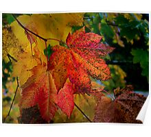 Fall Vine Maples Poster