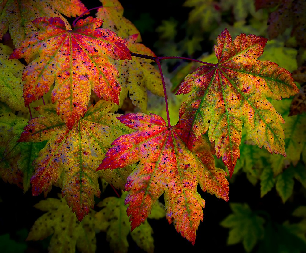Vine Maples In Change by Charles & Patricia   Harkins ~ Picture Oregon