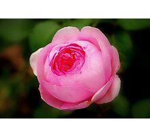 Pink Rose, Ness Gardens, Liverpool University. Photographic Print