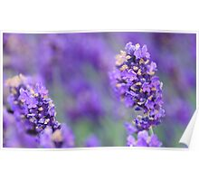 Lavender, Grosvenor Park Chester Poster