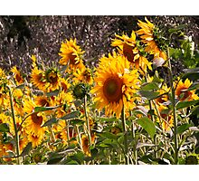 Girasole & olivo(sunflowers and olive) in Tuscany country side (italy) Photographic Print