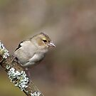Chaffinch in woods by M.S. Photography/Art