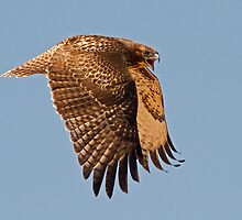 070911 Red Tailed Hawk by Marvin Collins