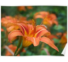 Daylilies - As-Is Poster