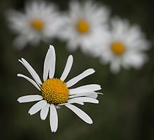Quad Daisies by geoff curtis