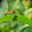 Happy Meadowhawk by Steve Borichevsky