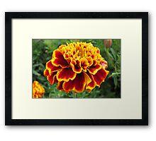 Magnificent Marigold Framed Print