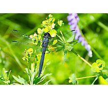 Slaty Skimmer Dragonfly Photographic Print