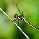Female Slaty Skimmer by Steve Borichevsky