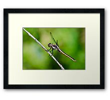 Female Slaty Skimmer Framed Print
