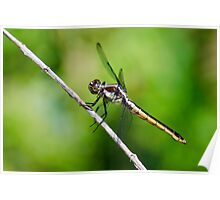 Female Slaty Skimmer Poster