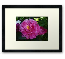 Peony Bloom Framed Print