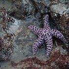 Second Beach Starfish (La Push, Washington) by Brendon Perkins