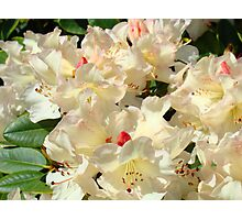 Rhododendrons Flowers Garden Yellow art prints Baslee Troutman Photographic Print