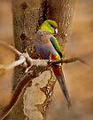 """Little Red Capped Parrot"" by Heather Thorning"