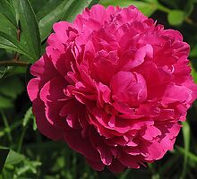The Splendour of the Peony by AliceMc