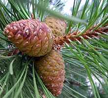 Young Pine Cones by gantwick