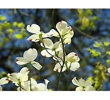 White Dogwood Flowers Tree art print Blue Sky Photographic Print