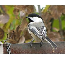 Chickadee-dee-dee Photographic Print