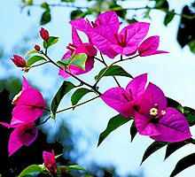 Bougainvillea - in my garden........ by Roy  Massicks