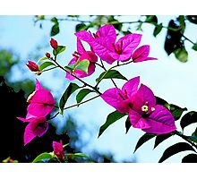 Bougainvillea - in my garden........ Photographic Print