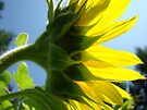 Sunlit Sunflower Flower art prints Yellow Sunflowers Floral by BasleeArtPrints