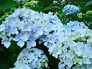 Pastel Blue Hydrangeas Flowers art prints Baslee by BasleeArtPrints