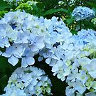Pastel Blue Hydrangeas Flowers art prints Baslee by BasleeArtPrints