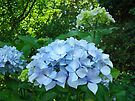 Hydrangea Flowers art prints Blue Hydrangeas Floral Baslee by BasleeArtPrints