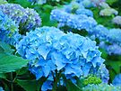 Blue Hydrangea Flowers art prints Blue Floral Garden by BasleeArtPrints