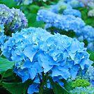 Blue Hydrangea Flowers art prints Blue Floral Garden by BasleeArtPrints