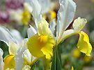 Spring Iris Flower Garden art print Yellow White Irises by BasleeArtPrints