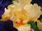 Orange Iris Flower Purple Floral art prints Irises by BasleeArtPrints