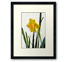 Daffodil HQ Framed Print