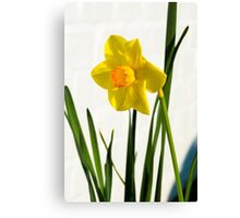 Daffodil HQ Canvas Print