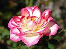Rose Flower Floral Garden art print Pink White Roses by BasleeArtPrints