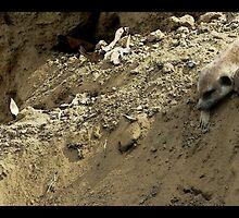 Meerkats by korinna999