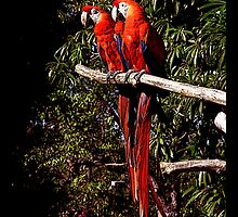 Parrots by korinna999