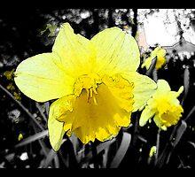 Narcissus/Daffodil by korinna999