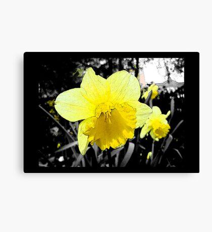 Narcissus/Daffodil Canvas Print