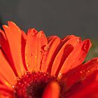 daisy dew by Tracy Jansen