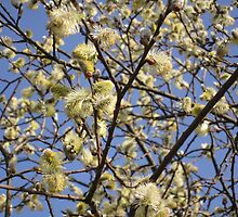 Willow catkins by Eleanor11