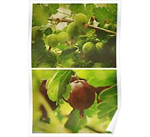 Summer: Gooseberries Poster