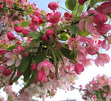 Pink tree blossom by Eleanor11