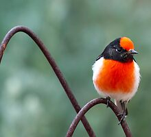 Red-capped Robin by Bean Strangeways