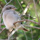 Fiscal Shrike Fledgling - One of three by Maree  Clarkson