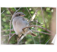 Fiscal Shrike Fledgling - One of three Poster